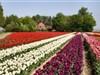 Tulpenfestival in Creil, Flevoland