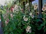 Stokrozen-Hortensia-Hemerocallis-Bamboe Dagen