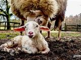 Lammetjesdag Rhedense Schaapskudde