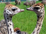 Paasrondleiding Struisvogelboerderij Monnikenwerve