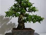 Bonsai tentoonstelling