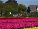 Tulpencross