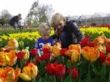 Tulpen plukken onder de rook van Amsterdam