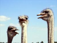 Struisvogelboerderij Monnikenwerve in Sluis, Zeeland