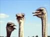 Struisvogelboerderij Monnikenwerve